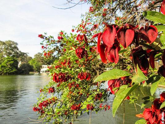 Argentinische Nationalblume Ceibo