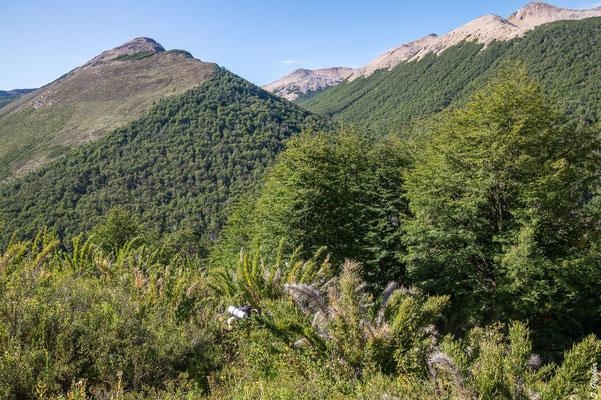 Valdivianischer Regenwald mit Caña Colihue. Im Hintergrund rechts der Cerro Bailey Willis, von dem wir kommen