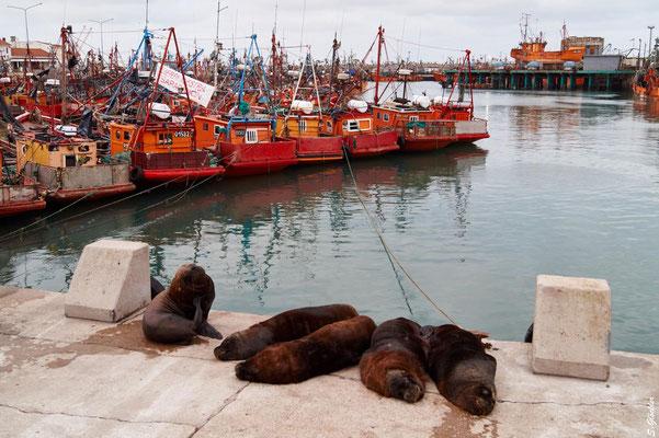 Seelöwenkolonie am Hafen von Mar del Plata