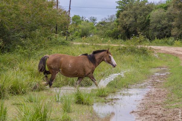 Pferde laufen überall frei herum