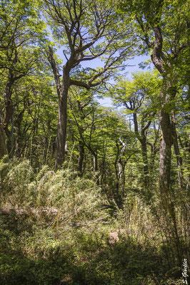 Typisch patagonischer Wald