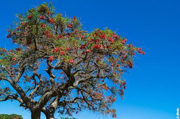 Ceibo - argentinische Nationalblume