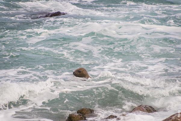 Mit etwas Glück sieht man neugierige Seerobben