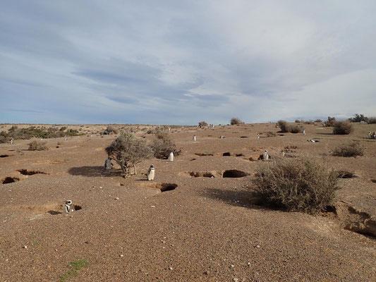 Wenn der Boden es zulässt, graben Magellanpinguine Höhlen