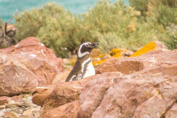 Magellan-Pinguin auf einer kleinen Felseninsel bei Puerto Deseado