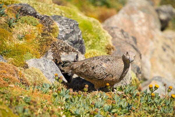 ...der neugierigen Agachona (patagonischer Zwerghöhenläufer)