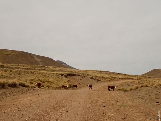 Es hat eine Weile gedauert, bis wir die Kühe überreden konnten, die Straße freizumachen