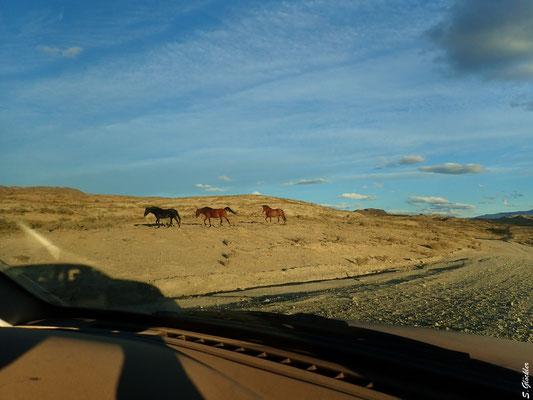 (Halb-) Wilden Pferden begegnet man überall in Argentinien