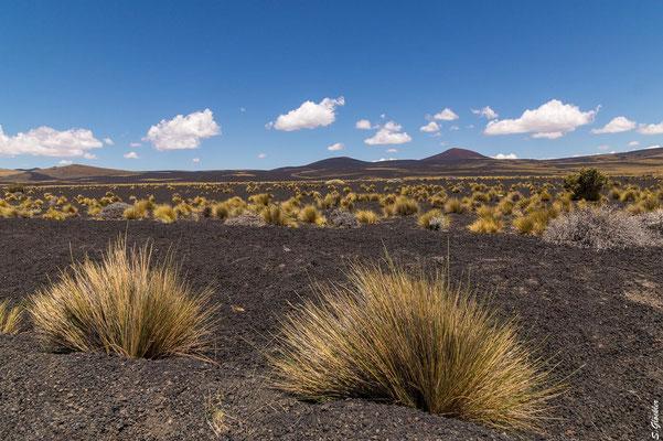 Buschelgräser zwischen Vulkangestein