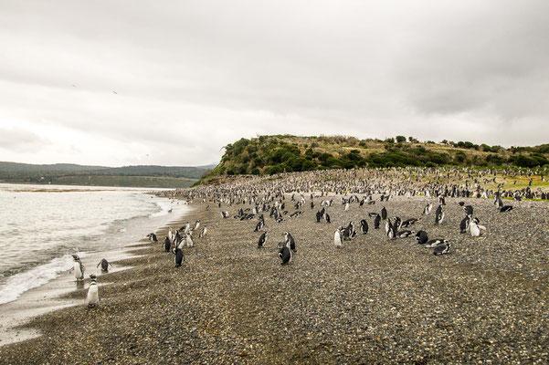 Magellan- und Eselspinguine begrüßen die Besucher am Strand der Isla Martillo im Beagle Kanal