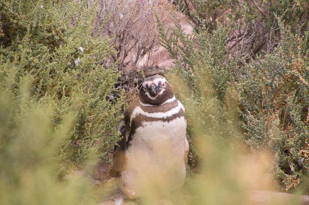 Neugieriger Magellanpinguin
