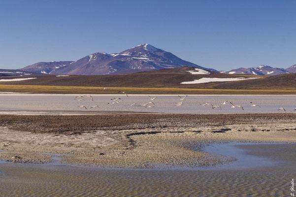 Flamingos, Laguna Brava