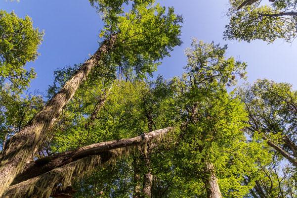 Märchenwald: Die Bäume sind dicht von Flechten überzogen