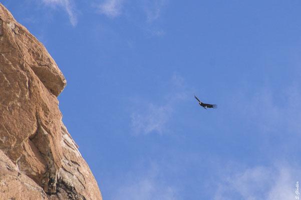 Majestätischer Kondor