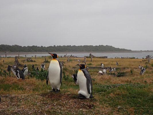 Pinguine auf der Isla Martillo, Feuerland