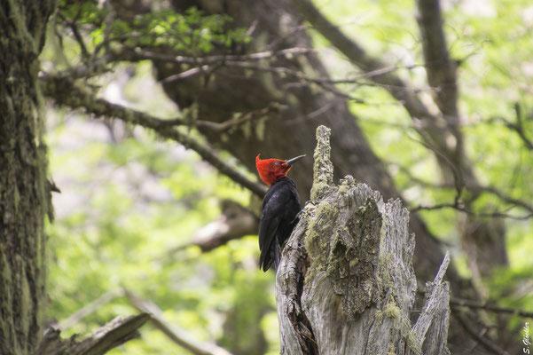 Wandern im Nationalpark Nahuel Huapi: Buntspecht