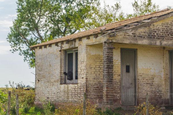 Kühe bewohnen die leerstehenden Häuser