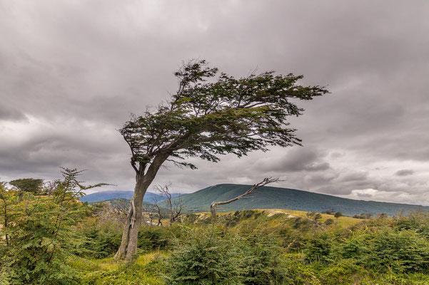 Vom Wind geprägt: Árbol bandera (Flaggenbaum) auf Feuerland