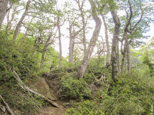 Lenga-Südbuchen Wald