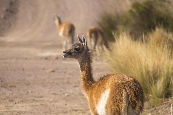 Menschen bekommen wir selten zu Gesicht in der patagonischen Einsamkeit, Guanakos dafür umso häufiger