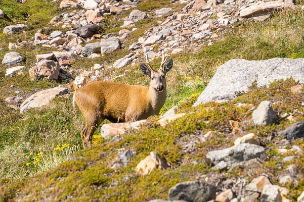 Nicht nur die Berge sind spektakulär, auch die Tierwelt: derm Huemul-Hirsch ist unsere Anwesenheit ebenso egal wie..