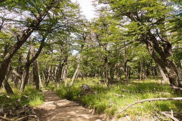 Weiter geht es durch einen schönen Südbuchen Wald