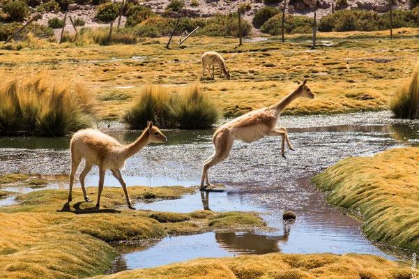 Vicuñas in der Atacama Wüste