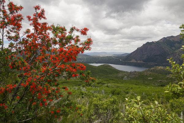 Im Frühling und Sommer blüht der Notro (Feuerbusch) in intensivem Rot