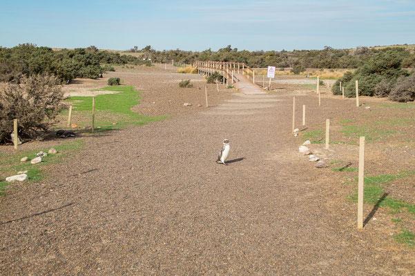 Auf ihrem Weg zum Nest queren Pinguine die Spazierwege. Es liegt am Menschen, den nötigen Abstand einzuhalten.