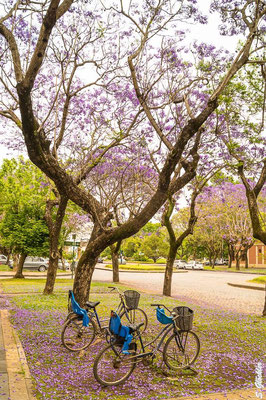 Jacaranda Bäume