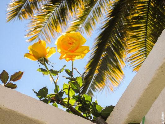 im Rosengarten von Buenos Aires