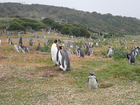 Magellan- und Königspinguine auf der Isla Martillo in Feuerland