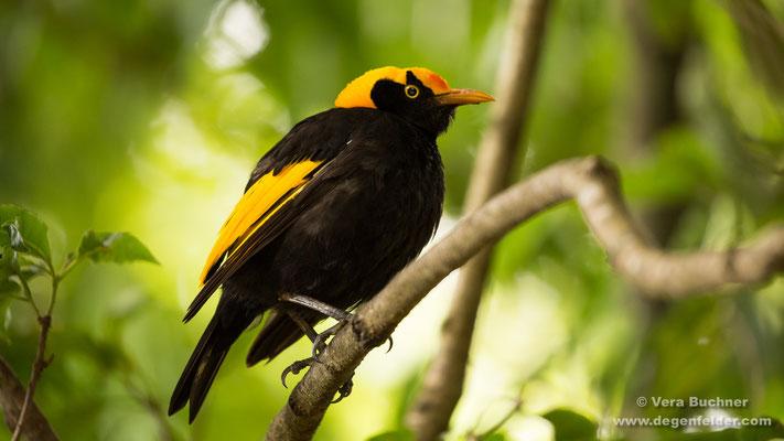 Gelbnacken-Laubenvogel