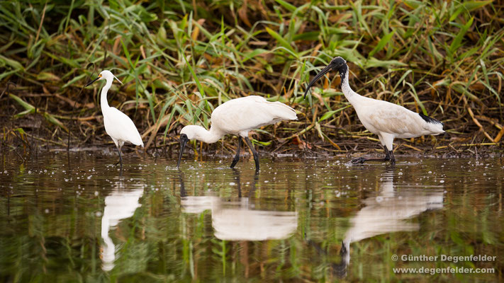 Little egret, Royal spoonbill, Australian white ibis