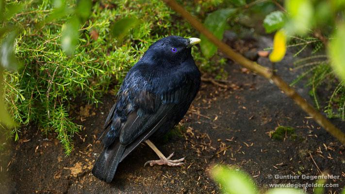 Seidenlaubenvogel