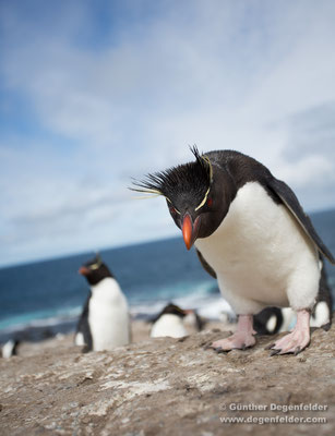 Southern Rockhopper Penguin