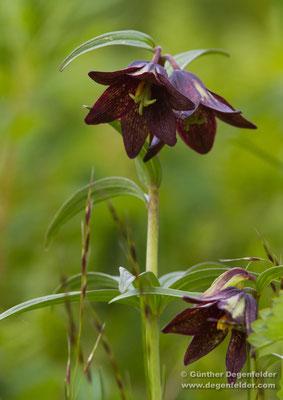 Kamchatka Lily