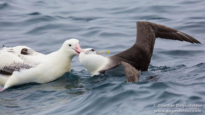 Southern royal albatross, White-capped albatross