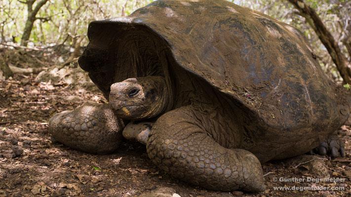 San Cristóbal Riesenschildkröte