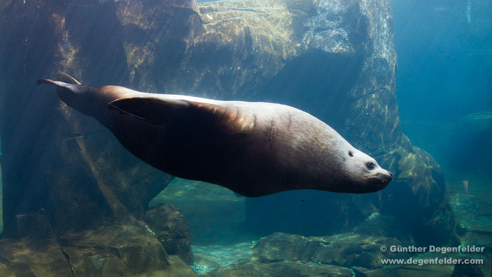 Steller Sea Lion (captive)