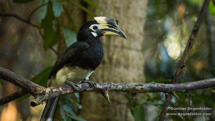 Orienthornvogel
