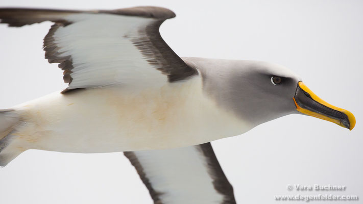 Buller-Albatros