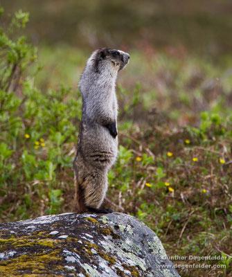 Alaska-Murmeltier