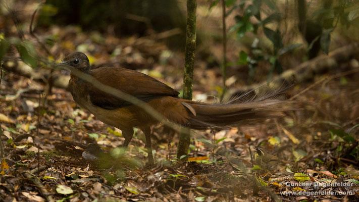 Albert's lyrebird