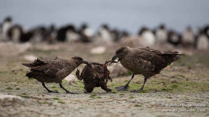Falkland Skua