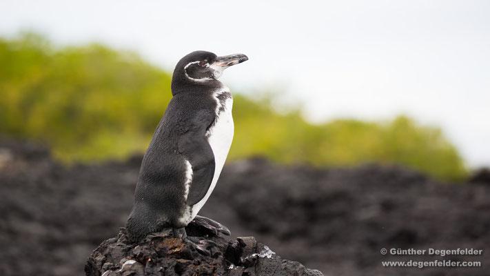 Galápagos-Pinguin