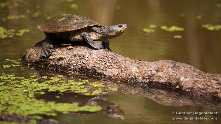 Schlammschildkröte