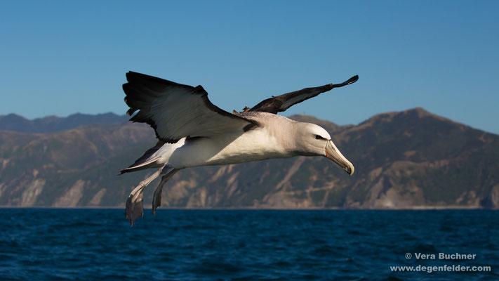 Salvin-Albatros