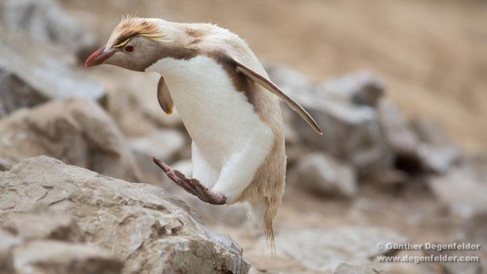 Leucistic Southern Rockhopper Penguin