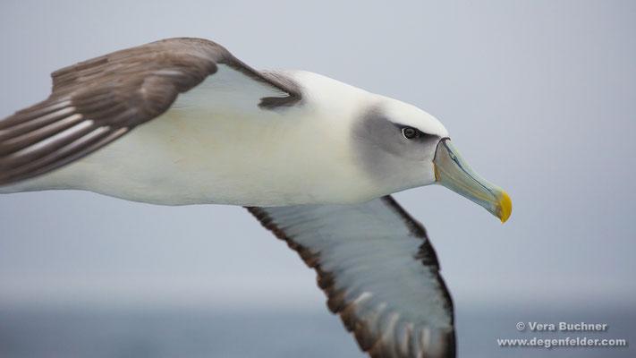 Salvin's albatross
